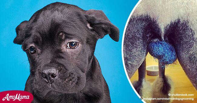 Veterinarios advierten de peligrosa nueva moda de poner purpurina en los testículos de los perros