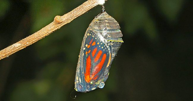 A photo of a butterfly coming out of a coccon. | Photo: Wikimedia Commons
