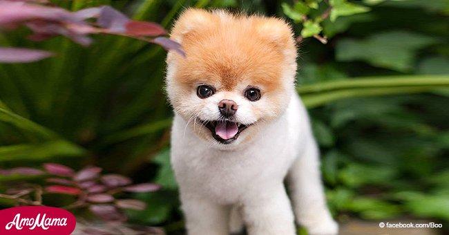 Boo, der ehemalige süßeste Hund der Welt, mit 12 gestorben