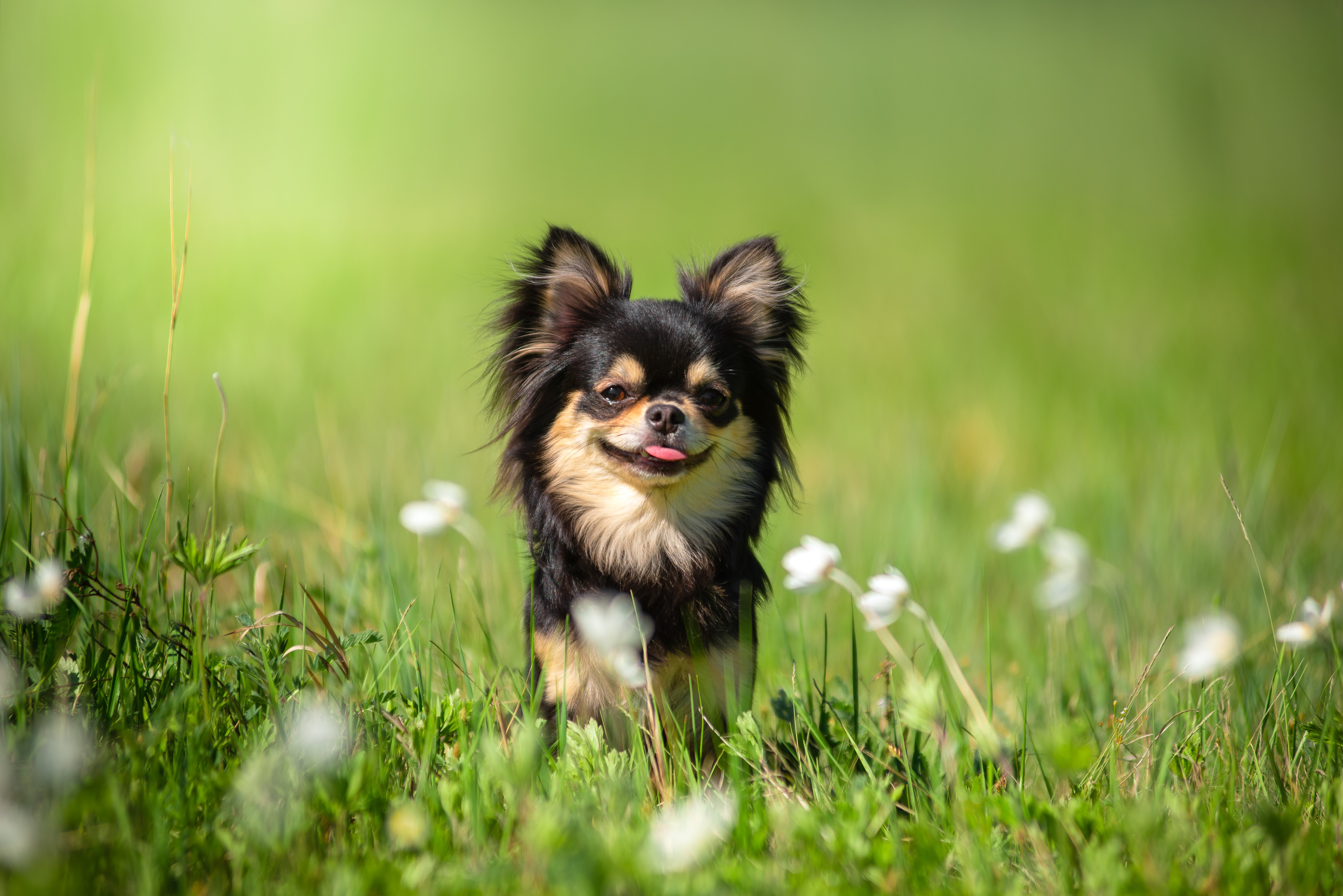 A Chihuahua dog on a sunny hot day | Photo: Shutterstock