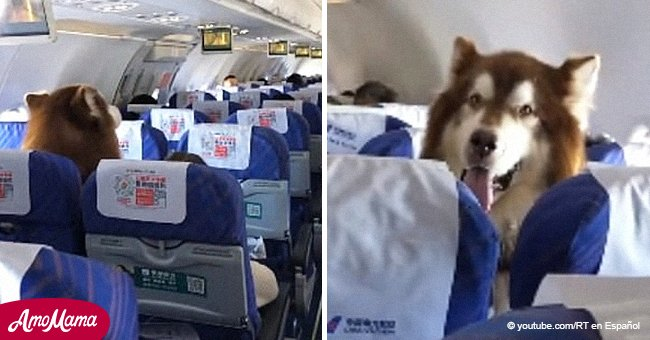 People baffled at seeing an Alaskan Malamute on a plane allowed to escort his disabled owner