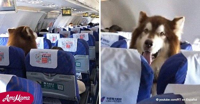Gente quedó atónita al ver un Malamute de Alaska sentado en un avión con su dueño discapacitado