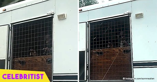 Bizarre video of man 'caged' in a horse trailer being towed by truck goes viral