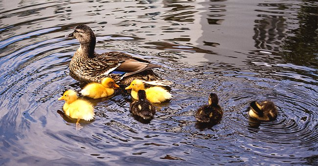 A mother duck and her ducklings in the river | Photo: Pikrepo.com