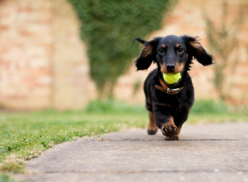 A dachshund with ball in his mouth | Photo: Getty Images