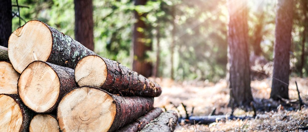 The old tree was finally cut down by the loggers   Photo: Shutterstock