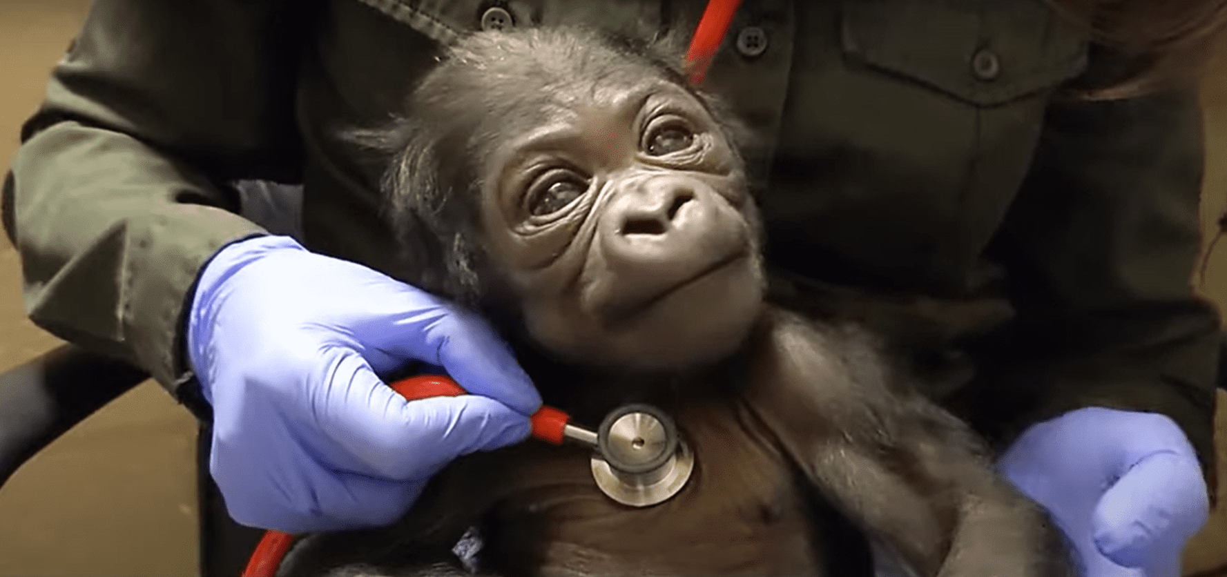 A specialist checking the newborn male gorilla's heart beat with a stethoscope. | Photo: YouTube/Zoo New England