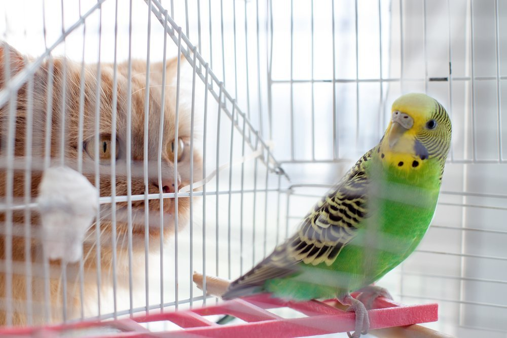 Cat eyes a caged budgie | Image: Shutterstock