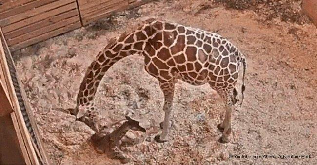 April die Giraffe hat gerade ihr fünftes, süßes geflecktes Kalb zur Welt gebracht
