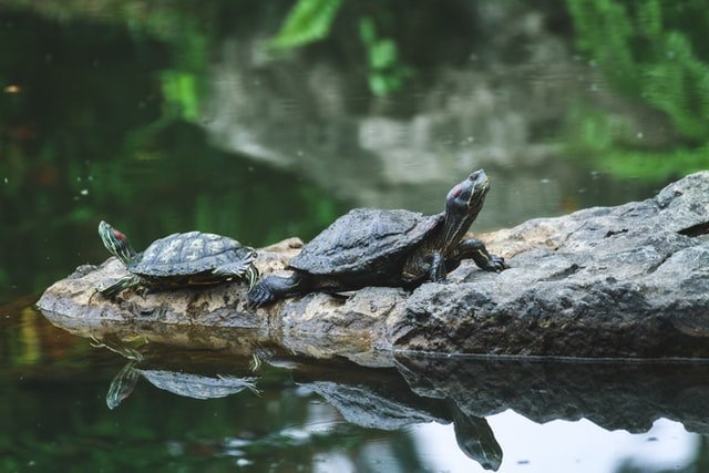 Two fresh water turtles by the lake | Source: Unsplash