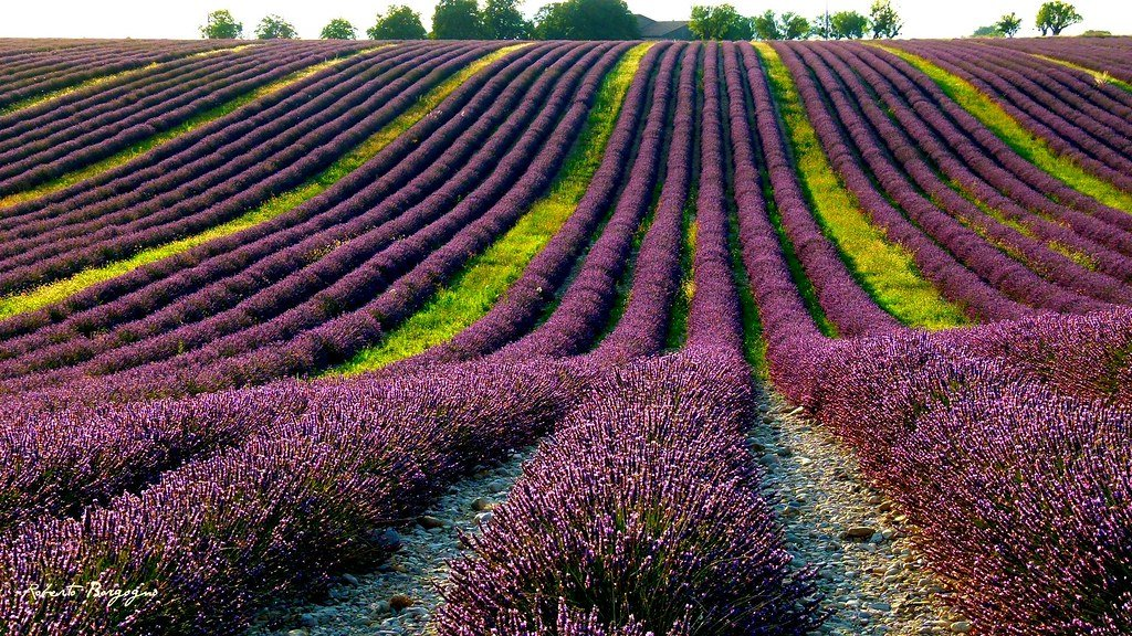 Lavender fields | Photo: Flickr