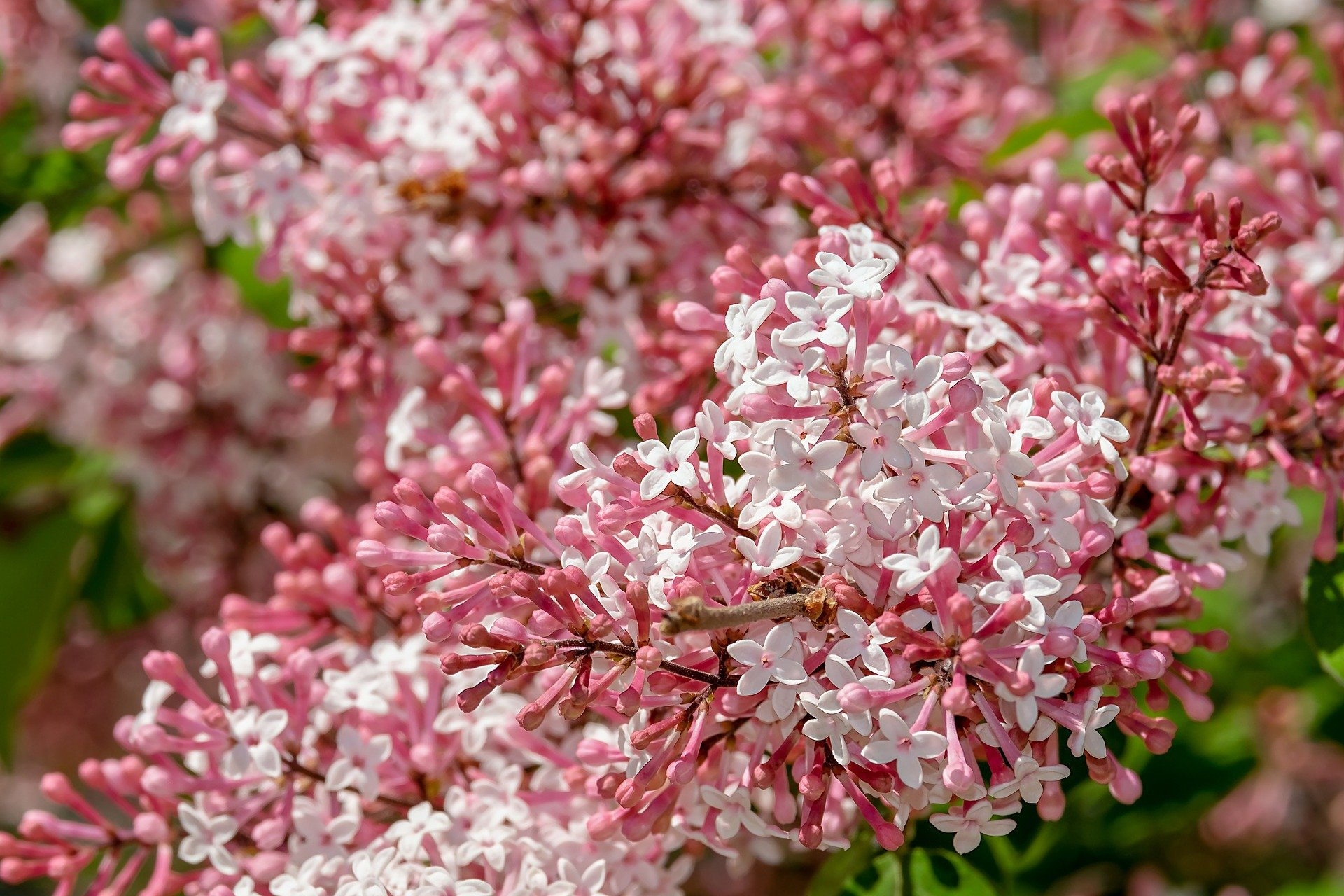 A field of pink and white lilac flowers | Photo: Pixabay/Couleur