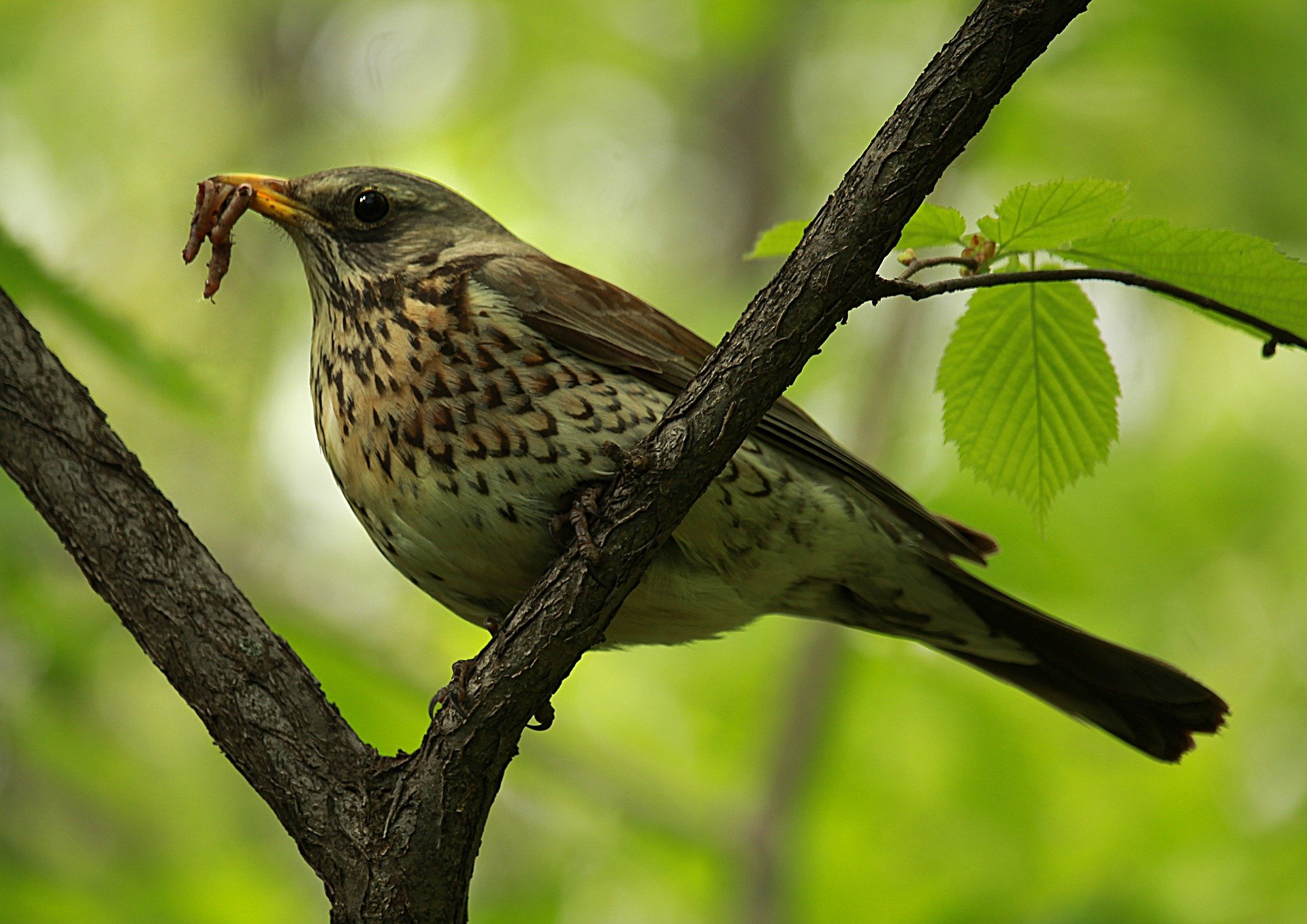 The man shared why he chose a thrush song bird to represent his wife. | Photo: Pixabay/Ирина Ирина