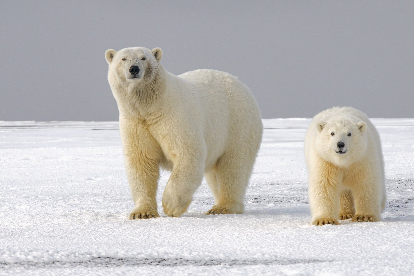 The baby polar bear's questions continued. | Photo: Unsplash