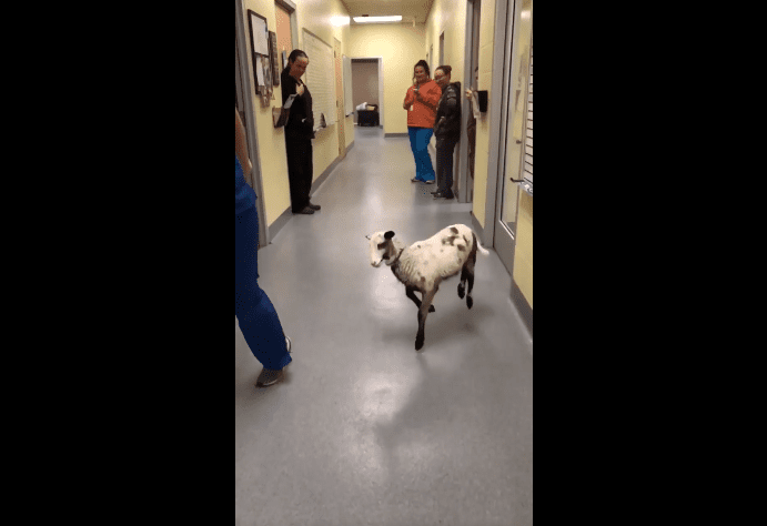 Je veux danser avec quelqu'un, un corps de baa baa baa baa baa qui m'aime. | Photo : Facebook/Longview Animal Care and Adoption Center