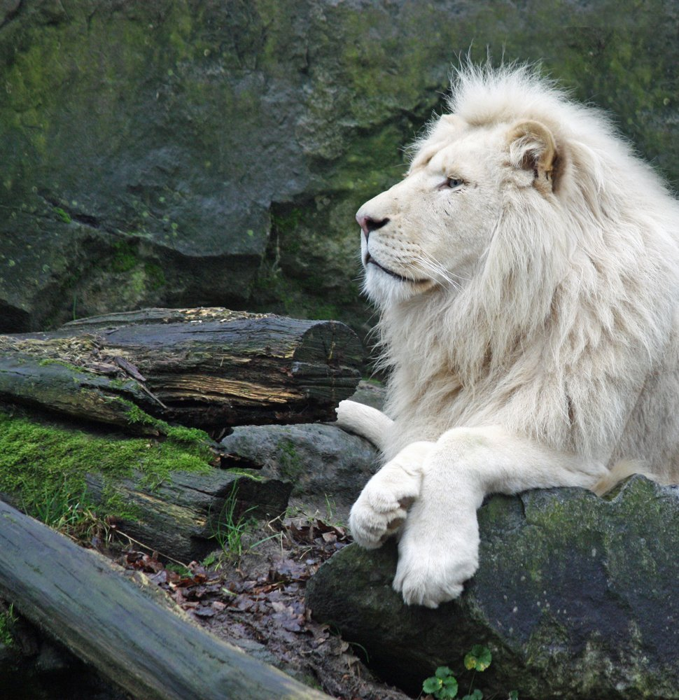 A large White African lion perched on a rock. | Photo: Shutterstock