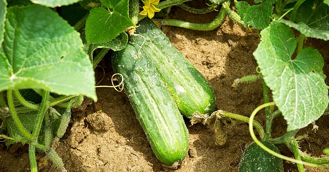 Tips and Tricks for Growing Perfect Cucumbers