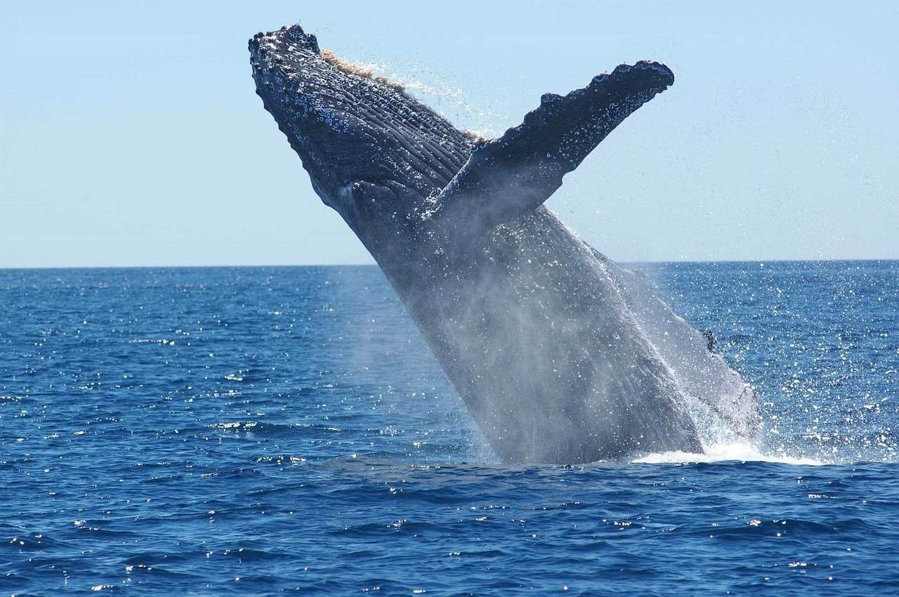 A whale swimming in the water. I Image: Pixabay