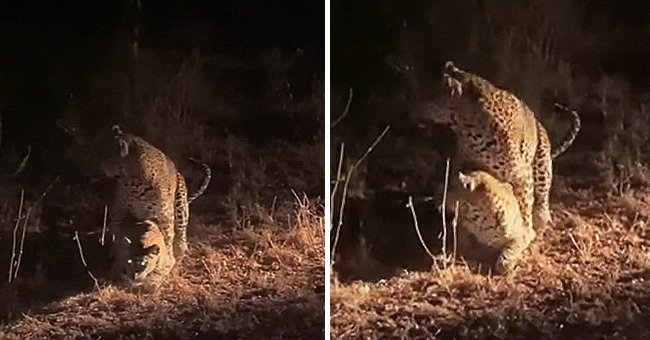 The leopards getting ready to mate and being distracted by noise | Photo: Youtube/RFI English