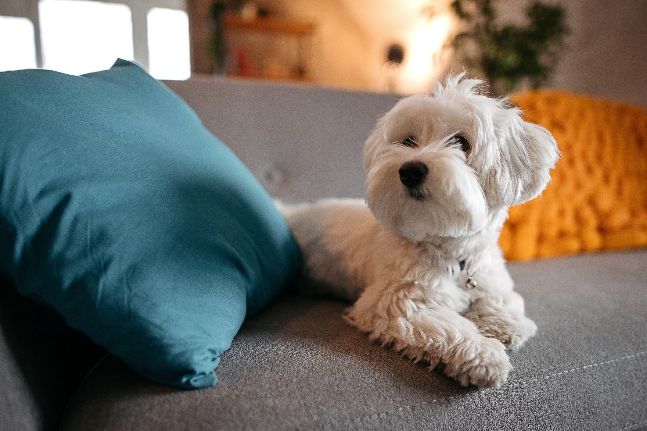 Maltese dog relaxing on sofa at modern living room | Photo: Getty Images
