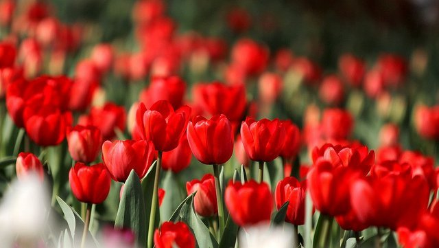 Des tulipes rouges. l Source : Flickr
