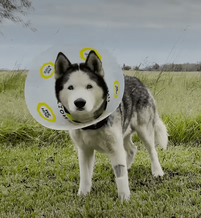 Sox the dog with a cone around his neck. | Source: Facebook/The Dodo