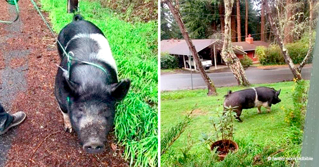 Family Devastated as Beloved Pet Pig Named Princess Killed by a Neighbor Who Agreed to Watch Her
