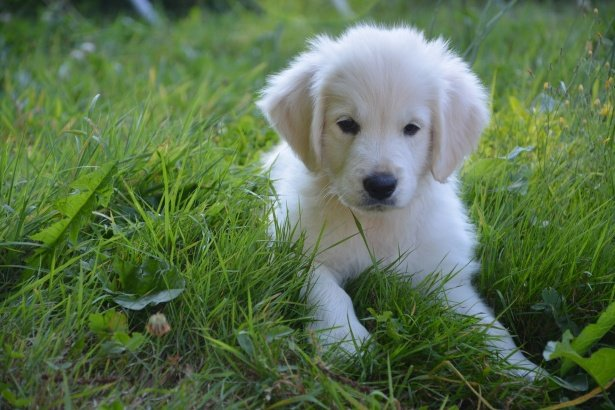 Perro labrador blanco en el cesped. | Foto: Public Domain Pictures