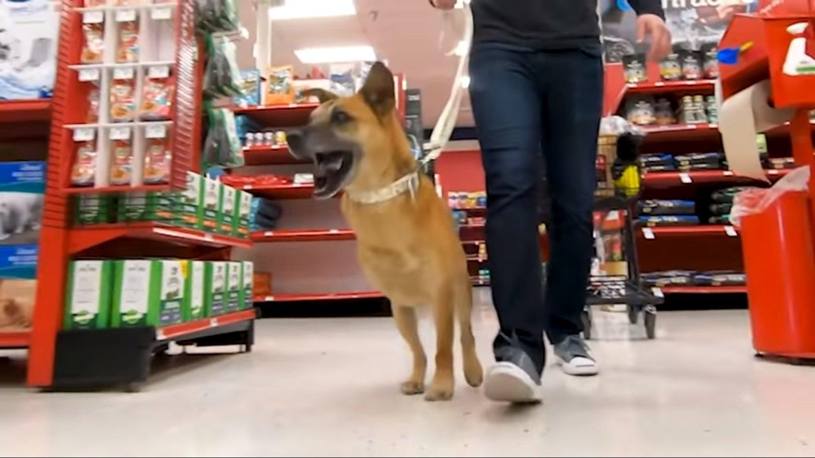 King camina emocionado con sus tres patas por la tienda de mascotas. Fuente: YouTube / Bam Bi