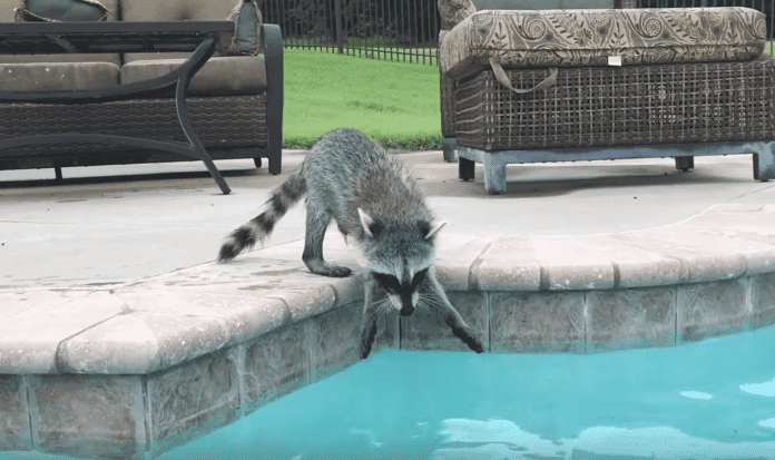 Source: YouTube/Tito the Raccoon