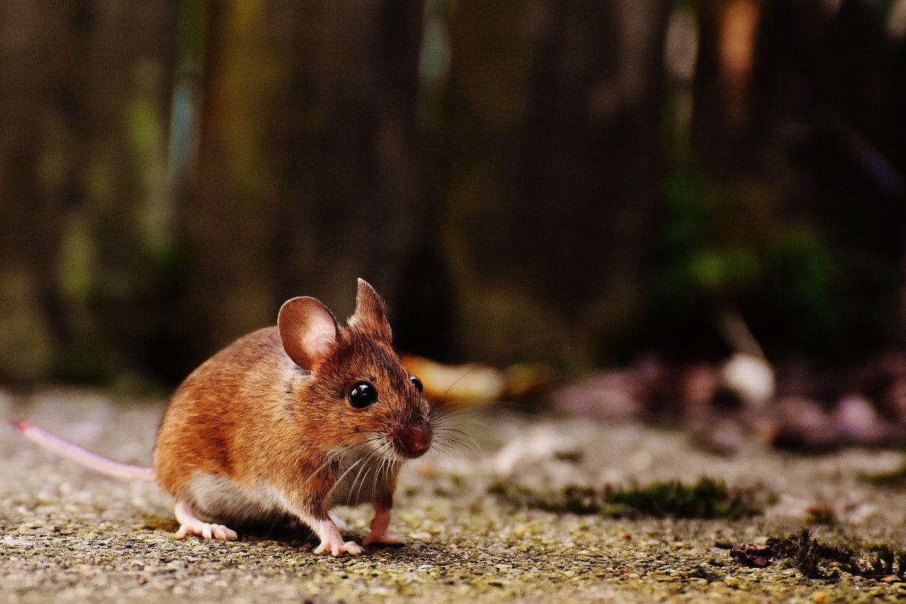 Photo of a brown mice | Photo: Pexels