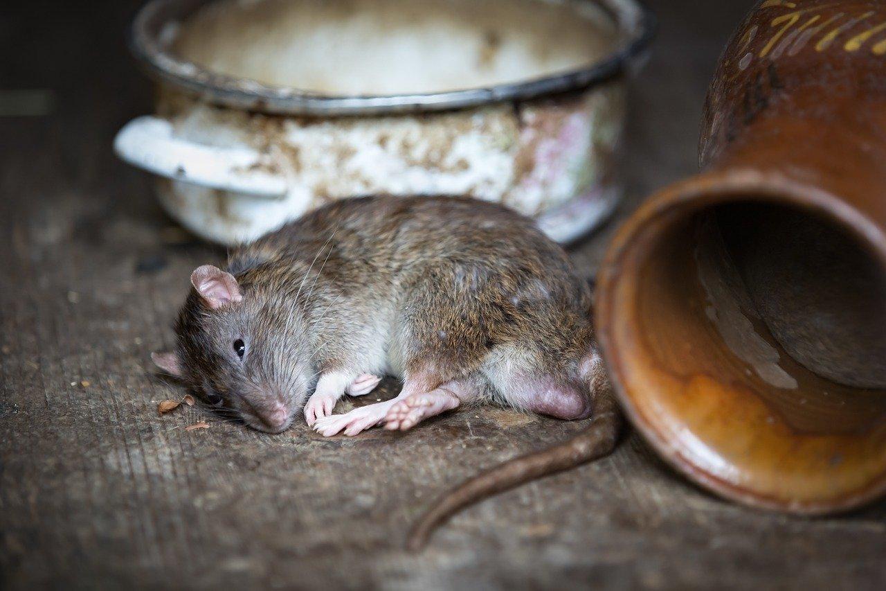 Un rat | Photo : Pixabay