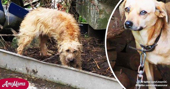 10 chiens appeurés et en détresse ont été découverts enchaînés pendant les 24 heures de chaque journée
