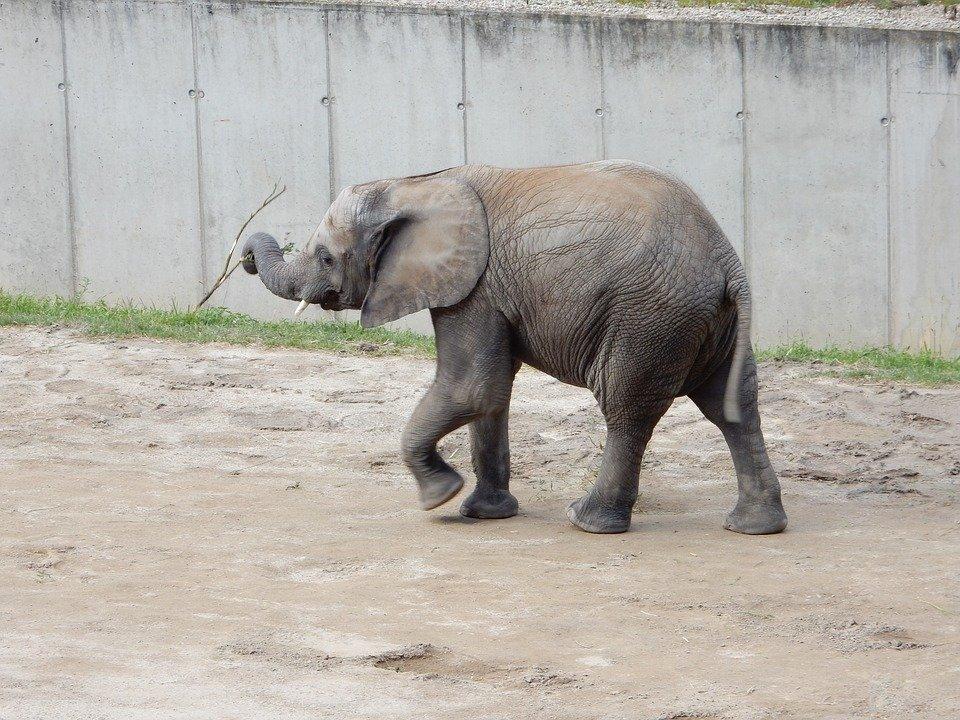 Elefante bebé.| Imagen: Pixabay