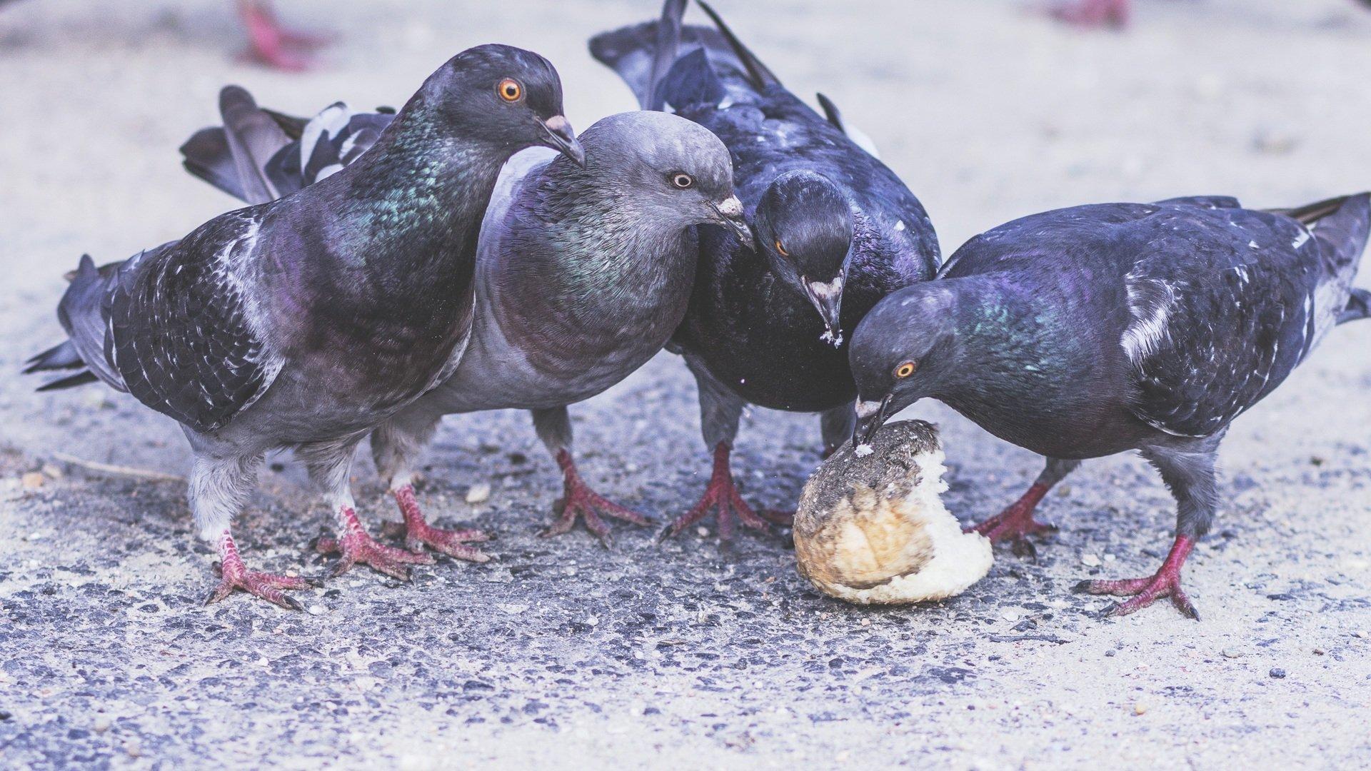 Palomas comiendo sobre el pavimento.    Fuente: PxHere