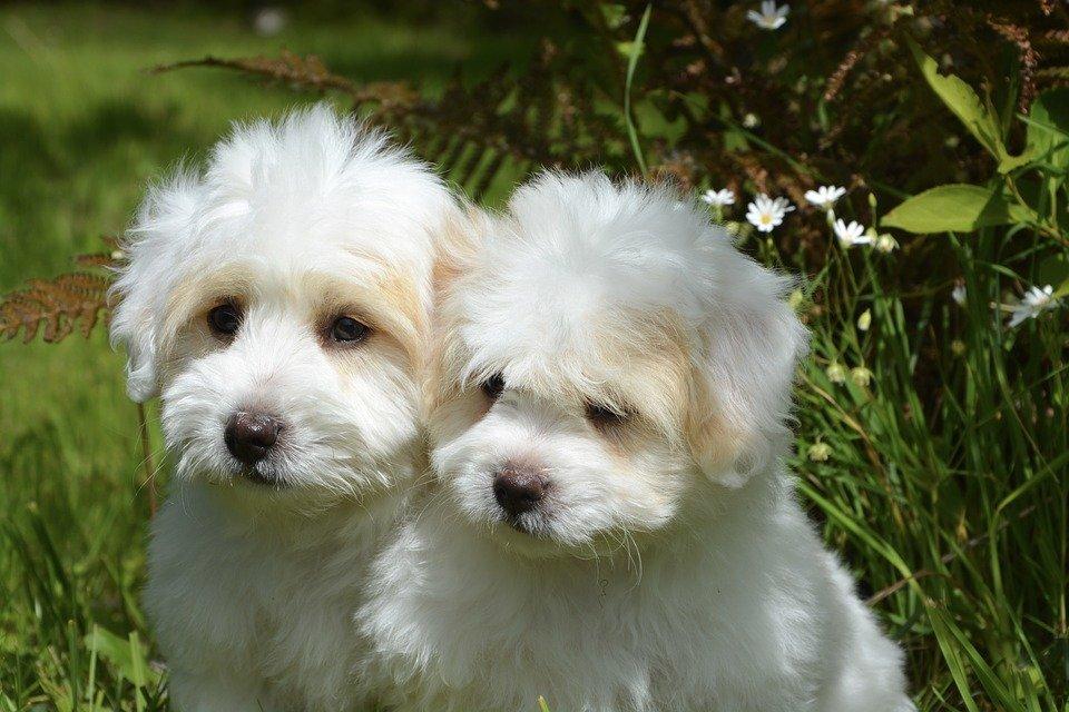 Un par de perritos blancos de raza pequeña sentados sobre el pasto. | Imagen: Pixabay
