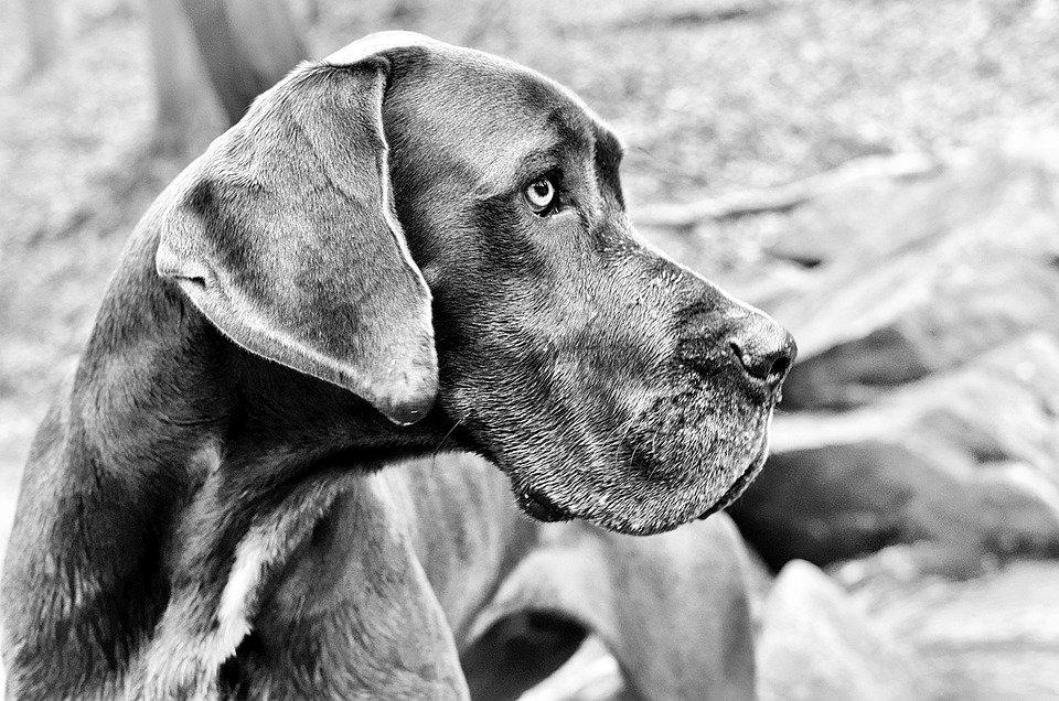 Perro Gran Danés frágil│Imagen tomada de: Pixabay
