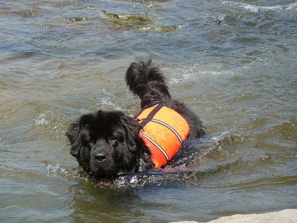 Perro con chaleco salvavidas nadando. | Imagen: Pixabay