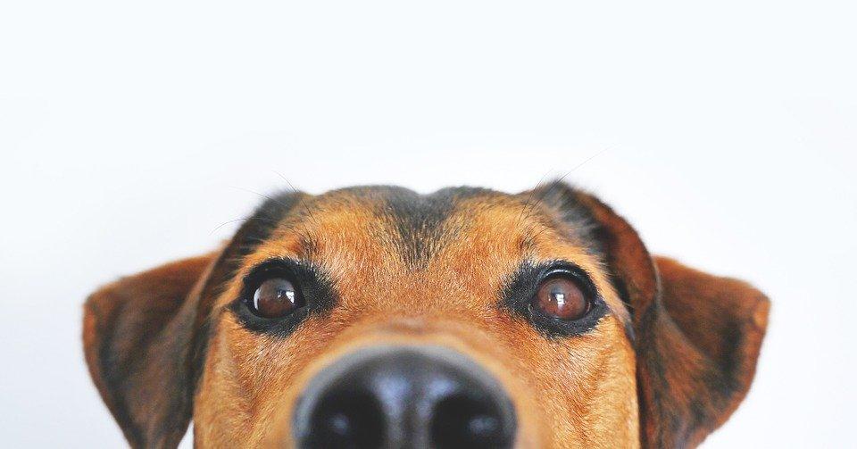 Une tête de chien fixant le caméra | Photo : Pixabay
