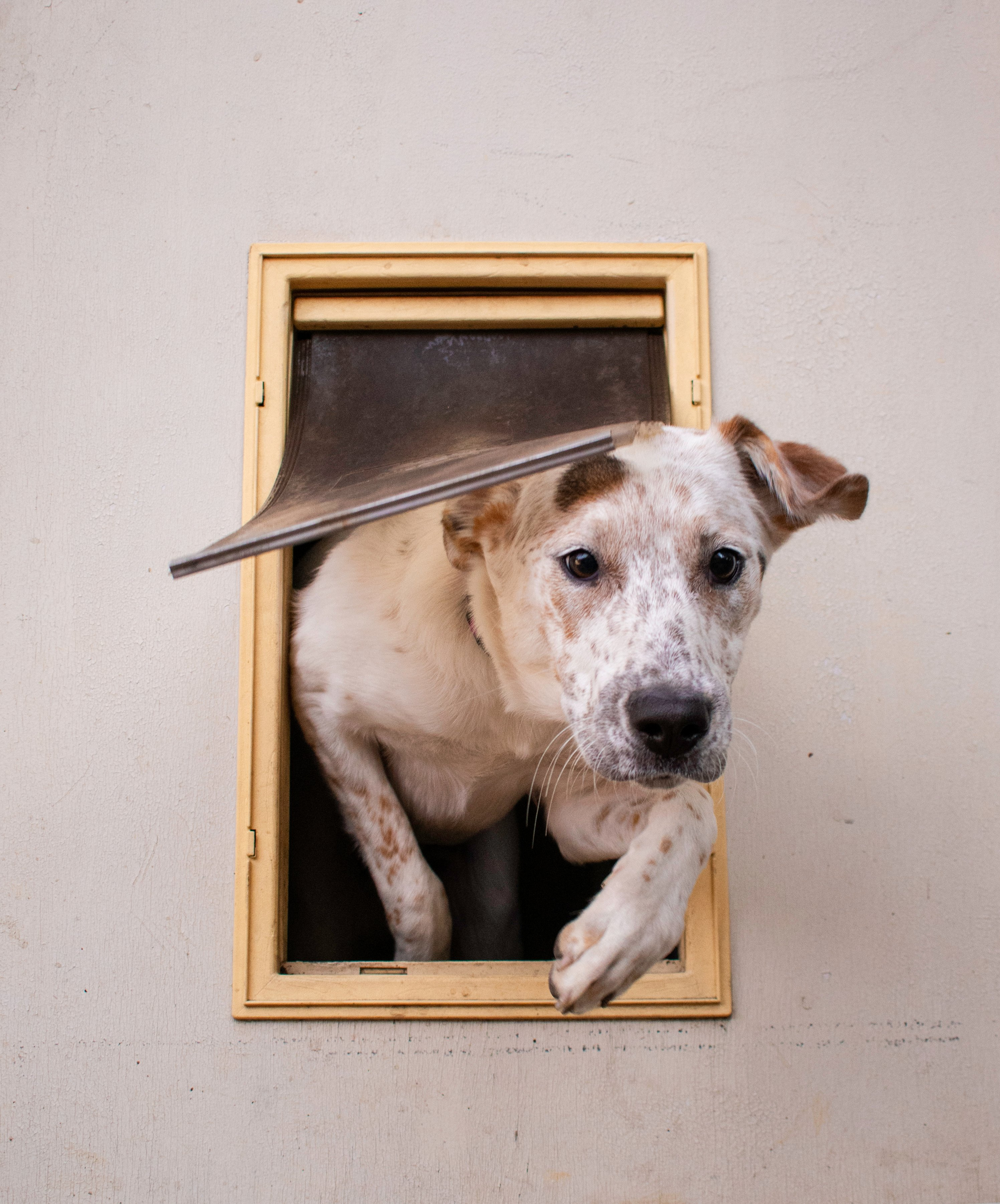 A small dog leaves the house via a doggy door   Photo: Shutterstock/Cole Giles