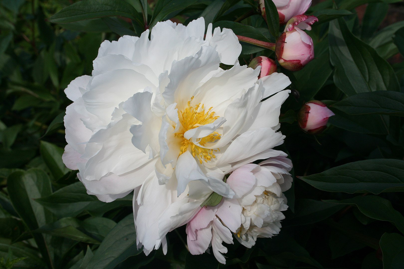 Paeonia lactiflora 'James Kelway', semi-double flowered | Photo By Ulf Eliasson/Wikimedia Commons