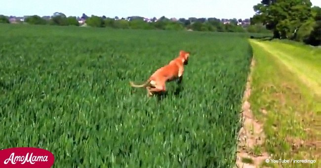 Lively dog bounces through a field in the most hilarious way (video)