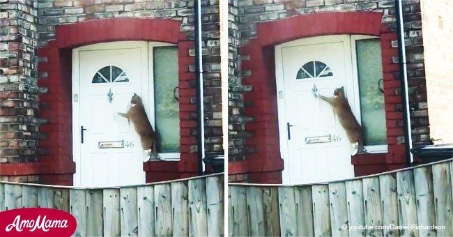 Adorable momento en que gatito toca la puerta como si fuera humano, y su gesto se vuelve viral