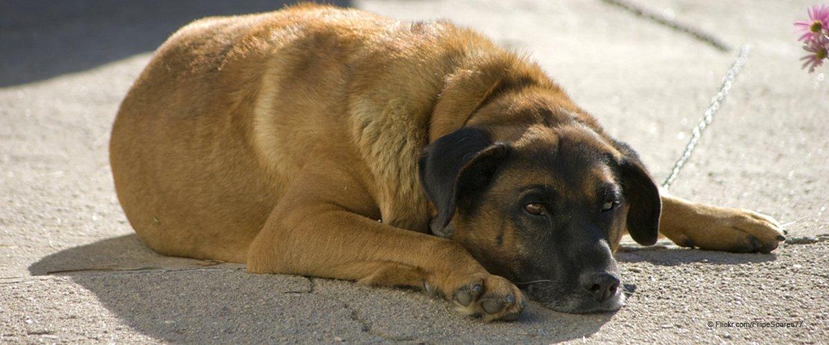 Un chien de compagnie a refusé de quitter son poste en dehors de l'hôpital ignorant que son propriétaire était déjà mort