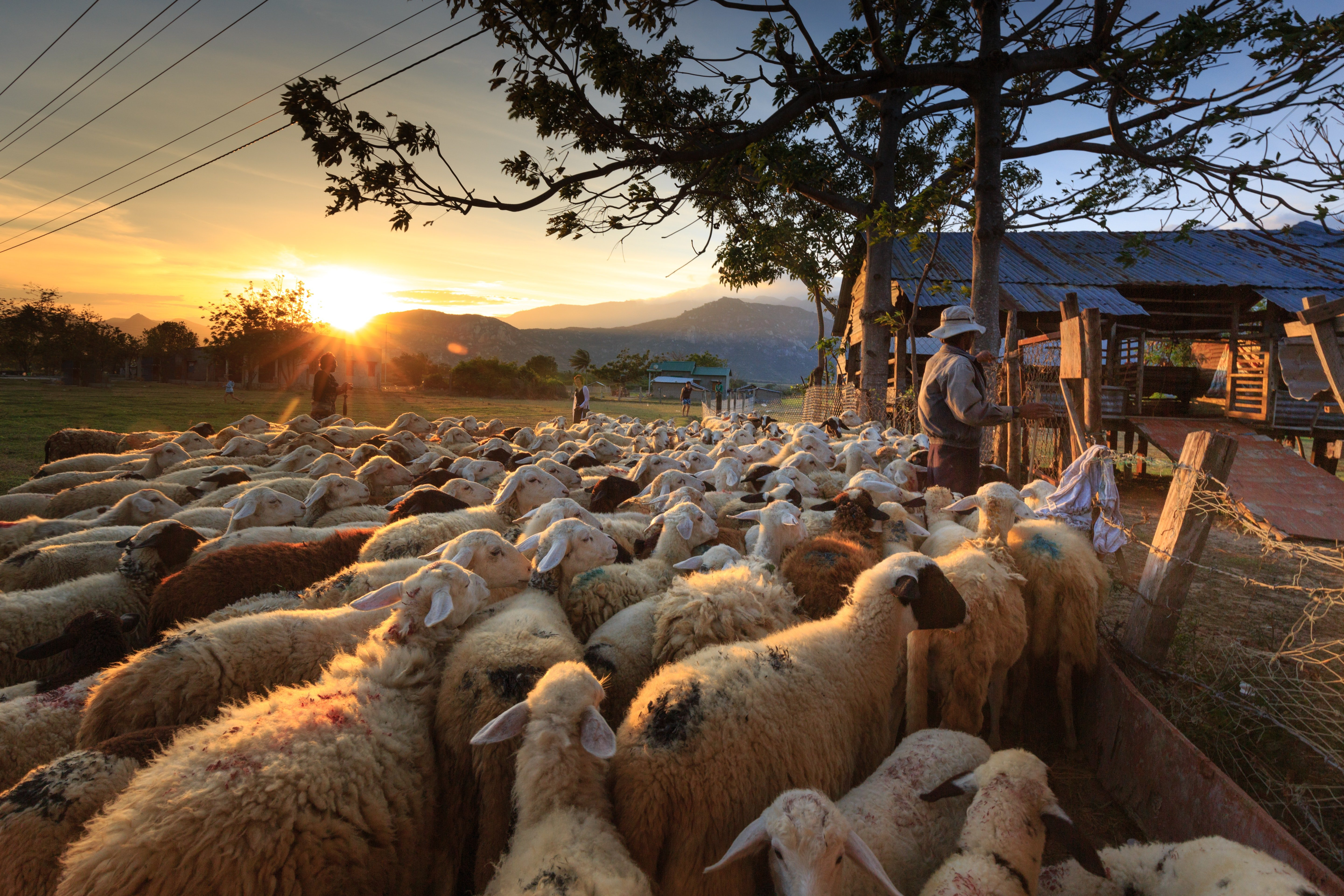 Pictured - An image of a herd of sheep standing outside a yard with a shepherd   Source: Pexels