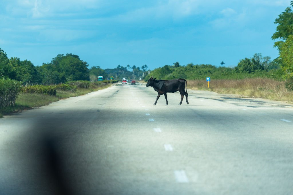 A loose cattle on the National Highway from Santa Clara to Havana on January 04, 2018 | Photo: Getty Images
