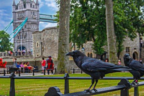 Les Ravens à la Tour de Londres. |Photo : Shutterstock
