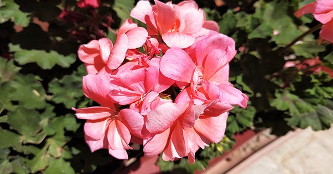 How to Grow and Care for Geraniums — 7 Easy Tips