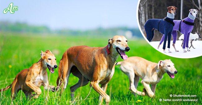 Deux chiens de chasse ont contraint les internautes à rire à cause de leur tenue trop serrée