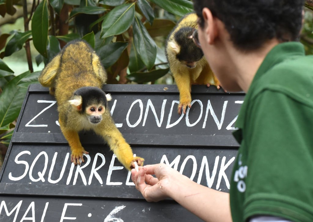 Bolivian black-capped squirrel monkeys being counted at the ZSL London Zoo on January 02, 2020 | Photo: Getty Images
